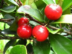 Eugenia reinwardtiana is a small tree native to rainforests in  northern Australia, Indonesia and the Pacific Islands. Common names include Cedar Bay cherry, Mountain stopper and Nioi