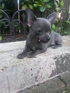Slovenië, grey chihuahua