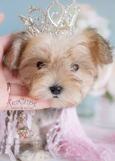 Beautiful Morkie Puppy by Teacups Puppies