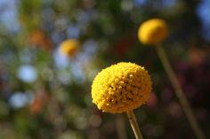 from: http://greenie.wordpress.com/category/australian-native-plants/    Pycnosorus globosus
