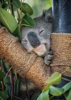 sdzoo:Sweet koala dreams by Laurie Rubin Cute Baby Animals, Animals And Pets, Funny Animals, Animals Beautiful, Beautiful Creatures, The Wombats, Baby Otters, My Animal, Baby Koala