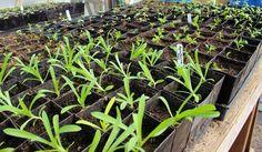 Seedlings & yeast