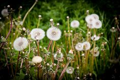 18052014-_MG_5163 | Flickr: Intercambio de fotos Dandelion, Flowers, Plants, Naturaleza, Scenery, Projects, Photos, Floral, Plant