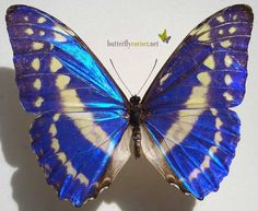Morpho cypris.  Or the blue butterfly.  I dreamt of a giant blue butterfly once and it became my muse...  I feel like the metamorphosis is the perfect metaphor of my life.