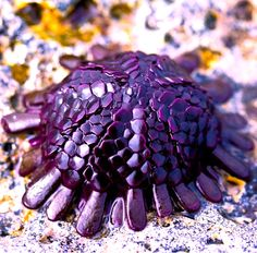 """Helmet Urchin  /  The shingle urchin or helmet urchin (Colobocentrotus atratus) is a species of sea urchin in the family Echinometridae. In Hawaii it is known as """"kaupali"""" which translates as """"cliff-clinging"""". It is found on wave-swept intertidal shores in the Indo-West Pacific, particularly on the shores of Hawaii."""