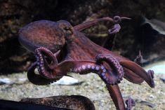 octopus vulgaris | by Joachim S. Müller