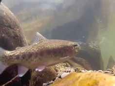 An up close and personal look at wild trout underwater in Great Smoky Mountains National Park.