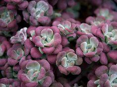 Sedum spathulifolium 'Purpureum' (Purple Broadleaf Stonecrop) is a mat forming, evergreen perennial up to 4 inches (10 cm) tall, with...
