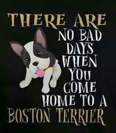 There are no bad days when you come home to a Boston Terrier