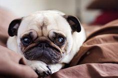 Little pug face!