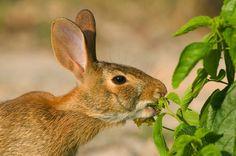 Rabbit eating garden plant