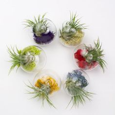 Juicy Froots air plant hanging terrarium -  Hang them on your tree or around the office or use the flat bottom to set them on a table as party favors for your visitors. They make fantastic gifts for teachers or coworkers. Froots come in six brilliant colors and each Juicy Froots ornament only takes about 30 seconds to put together. Yay!  Please contact us for special bulk pricing. :)  #diy #partyfavors #wedding #babyshower #tillandsia #terrarium #airplant
