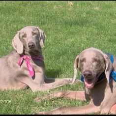My Weimaraners Cody and Jewels, lay out in the sun