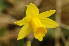Nieuw in mijn Werk aan de Muur shop: Narcis #Flowers #Spring