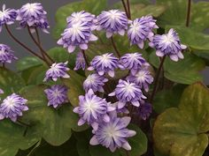 Hepatica nobilis var japonica   - Scottish Rock Garden Club - >Wisley Alpine Log
