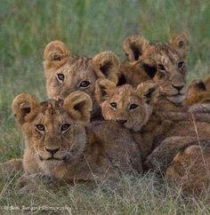 Cubs, Copyright Ann Aveyard Photography. — Governors Camp Masai Mara