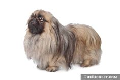Pekingese with gray - Google Search