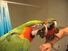 talkingbird shushes other parrot - Yahoo Canada Search Results