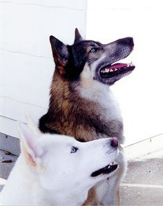 Caine (Siberian Husky) and Bodie (wolf-hybrid) - Canis lupus familiaris by Radianman 크래그, via Flickr