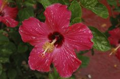 Search from 60 top Hibiscus pictures and royalty-free images from iStock. Find high-quality stock photos that you won't find anywhere else. Tropical Flowers, Colour Images, Photo Illustration, Royalty Free Images, Orchids, Stock Photos, Plants, Pictures, Photos