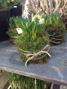 Baskets of Muscari with moss