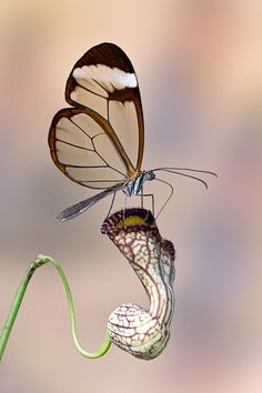 butterfly on a pitcher plant.