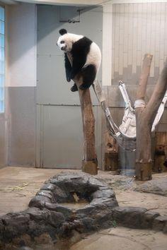 Baby Panda Bears, Baby Pandas, Cute Baby Animals, Animals And Pets, Funny Animals, Wild Animals, Panda Art, Panda Panda, Tiger Cubs