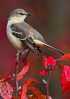 Mockingbird, I have one that has taken up residence on my deck. He is NOT afraid of me or my dogs and cats ! I worry about him out in the cold weather ! LOL !