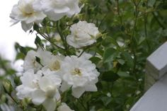 Sander's White Rambler, will climb a gate trellis, only blooms once