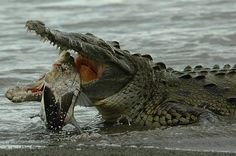Crocodile and Fish, part 5 by antonsrkn         Crucial Moments of the Wild Life