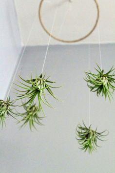 식물인테리어 :: 흙없이도 자라는 식물! 에어플랜트 틸란드시아~ : 네이버 블로그