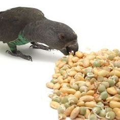 Find out how to sprout bird seeds for your parrot.