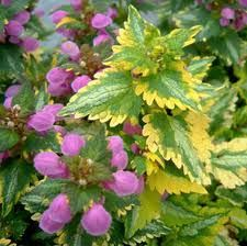 Lamium Golden / Dead Nettle