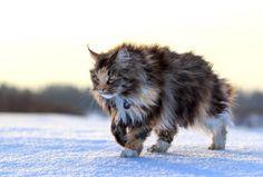 Maine coon cat image via Shutterstock.