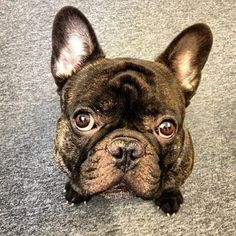 'Boss', the French Bulldog.