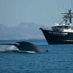 Between 1988 and 2012, an estimated 100 blue whales were struck and killed by large cargo ships.The only real solution to prevent this from continuing to happen is to move the lanes further west. But, this can't happen until President Obama puts pressure on the National Oceanic and Atmospheric Administration (NOAA), and the Department of the Navy to take action.
