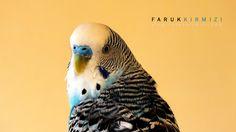 500px'te Faruk Kırmızı tarafından Maviş, Budgerigar fotoğrafı #bird