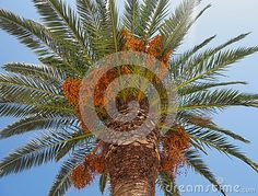 Crown of palm tree in full sun