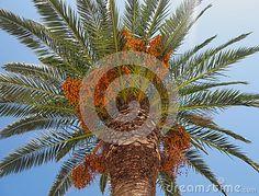 Crown of palm tree in full sun