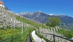 marlinger waalweg Flora Und Fauna, Vineyard, Travel, Outdoor, Voyage, Italia, Mountain, Ascension Day, Walking Paths