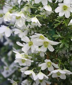 Clematis Early Sensation, ♥♥♥ re pinned by www.huttonandhutton.co.uk