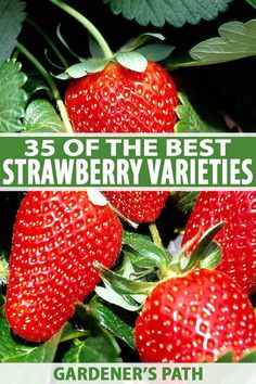 Want to grow your own strawberries? There's a huge variety of cultivars to choose from. To make your selection a little easier, check out our roundup. Gardening For Beginners, Gardening Tips, Strawberry Varieties, Fruit Garden, Red Berries, Garden Projects, Garden Ideas, Garden Art, Grow Your Own