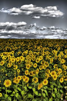 Sunflower Field near Boulder, Colorado