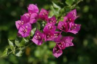 Why won't my bougainvillea bloom? Apply about a tablespoon of hibiscus fertilizer every three to four weeks. Or use a specially formulated bougainvillea fertilizer. A tablespoon of Epsom salts when you fertilize can be beneficial, too.