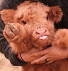 10+ photos de vaches adorables qui prouvent qu'elles sont simplement de gros chiens