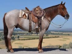 Zandder Chex ~ Fancy Ranch Gelding for Sale - For more information click on the image or see ad # 36722 on www.RanchWorldAds.com