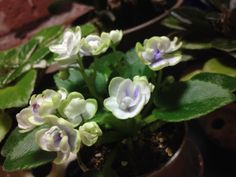 Miniature African violet: Jolly Orchid