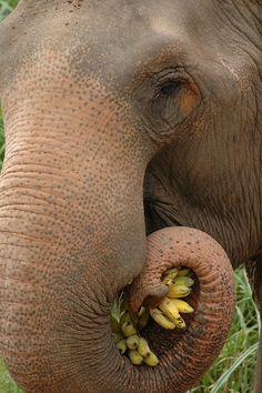 Elephant eating bananas