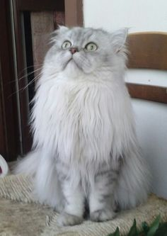 Romeo (12 mesi), gatto persiano chinchilla silver shaded. #persiancat