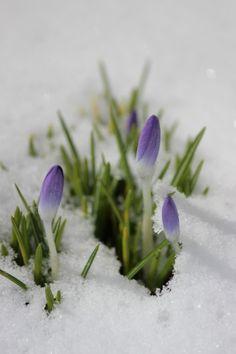 Crocus dans la neige.